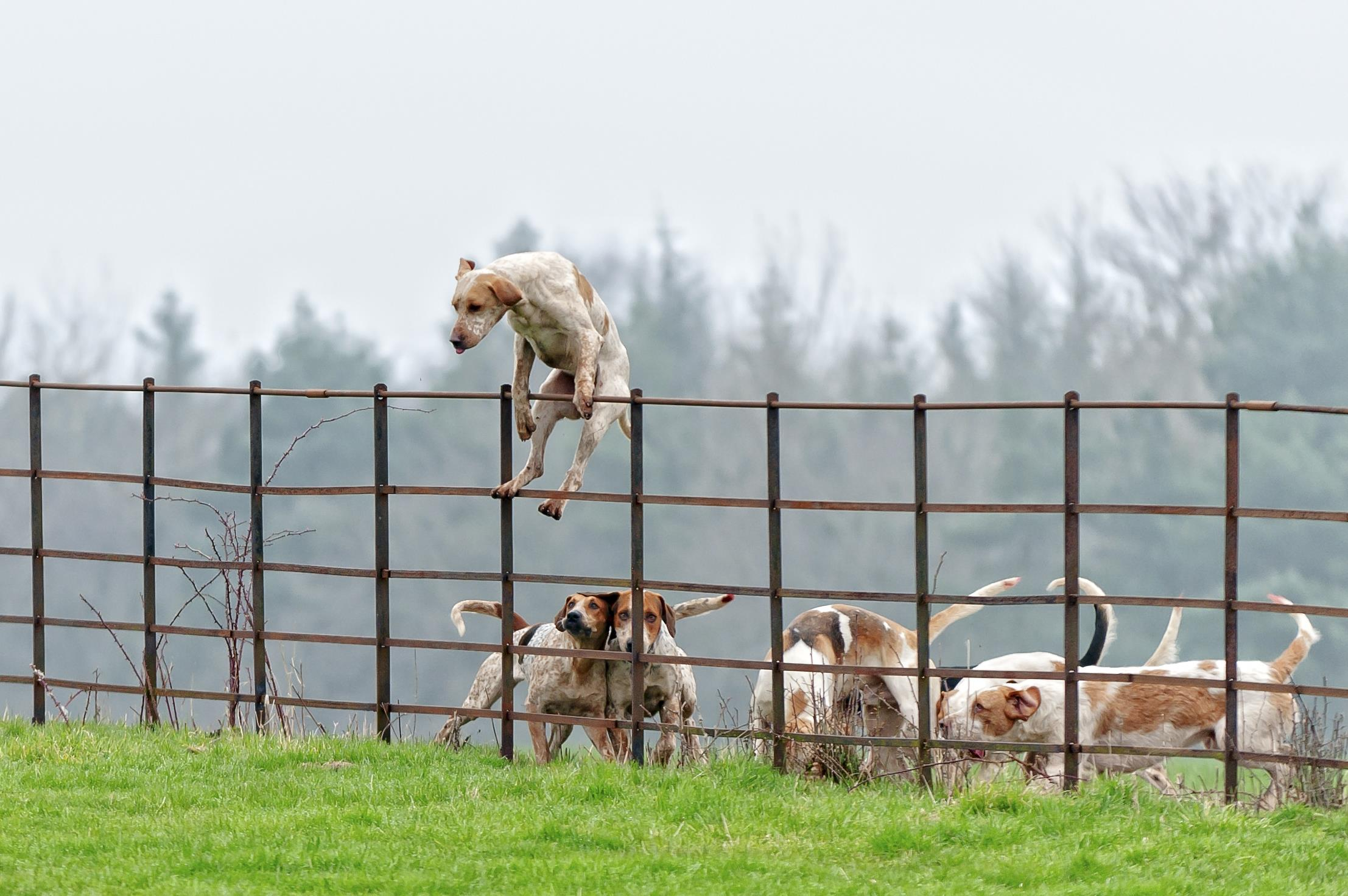 Dog leaping over fence ()